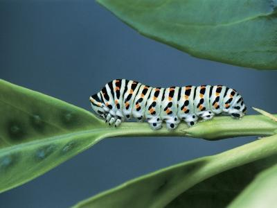 Close-Up of a Swallowtail Caterpillar on a Leaf (Papilio Machaon)
