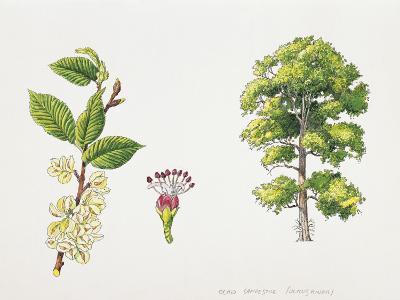Field Elm (Ulmus Minor), Illustration