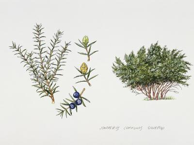 Juniper (Juniperus Communis), Illustration