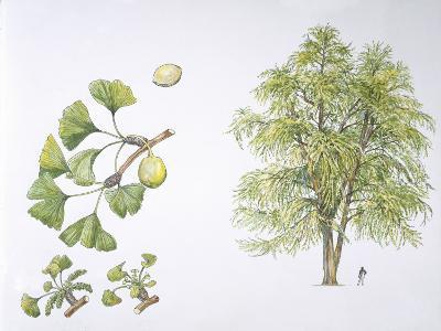 Maidenhair Tree (Ginkgo Biloba) Plant with Flower, Leaf and Seed, Illustration