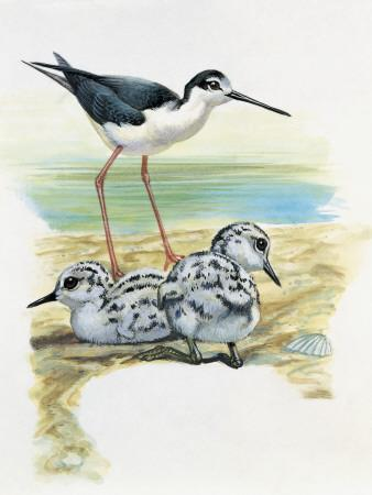 Close-Up of a Black-Winged Stilt with its Chicks (Himantopus Himantopus)