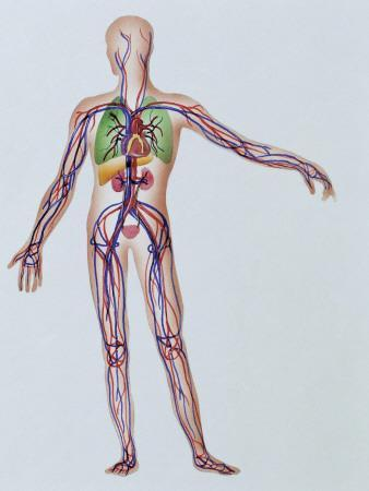 Internal Body Parts of a Human Being
