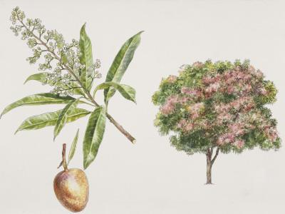 Mango Trees (Mangifera Indica) Plant with Flower and Drupe, Illustration