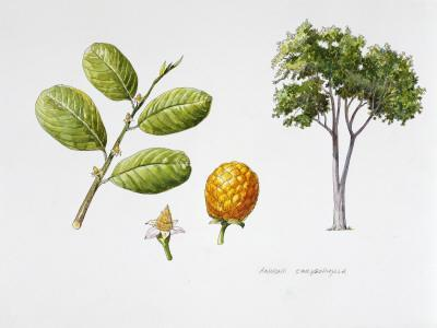 Wild Custard Apple (Annona Chrysophylla), Plant with Flowers, Leaves and Syncarpous Fruits