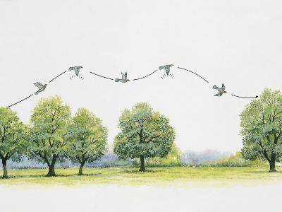 Wood Pigeon Flying over Trees (Columba Palumbus)