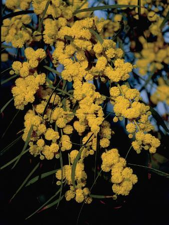 Close-Up of Flowers on Silver Wattle Tree (Acacia Dealbata)