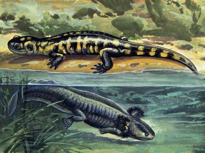 Close-Up of Two Tiger Salamanders (Ambystoma Tigrinum)