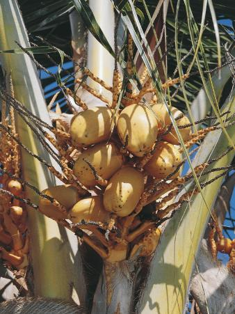 Low Angle View of Coconut Palm Trees (Cocos Nucifera)