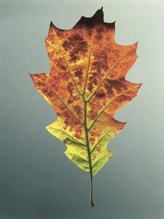 Close-Up of Northern Red Oak Leaf (Quercus Rubra)