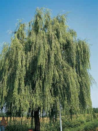 Weeping Willow Tree in a Field, Wisconsin, Usa (Salix Babylonica)
