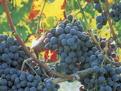 Close-Up of Dolcetto Wine Grapes (Vitis Vinifera)