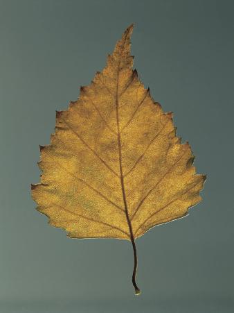 Close-Up of a Leaf of European White Birch (Betula Pendula)