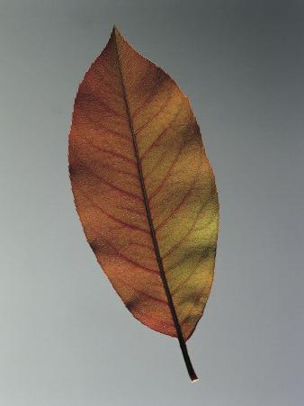 Close-Up of a Leaf of a Southern Magnolia (Magnolia Grandiflora)