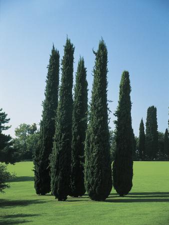 Mediterranean Cypress Trees on a Landscape (Cupressus Sempervirens)