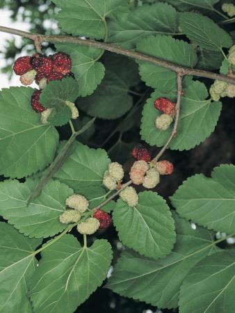 Close-Up of Black Mulberries on a Tree (Morus Nigra)