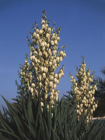 Low Angle View of Moundlily Yucca Flowers (Yucca Gloriosa)