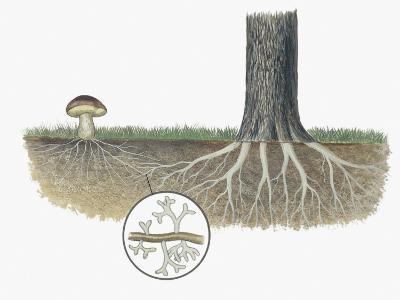 Mushroom with Roots of a Tree