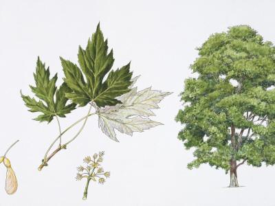 Silver Maple (Acer Saccharinum) Flower, Leaf and Maple Seeds, Illustration