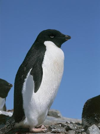 Close-Up of an Adelie Penguin, Terre Polari, Petermann Island, Antarctica (Pygoscelis Adeliae)