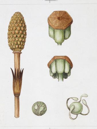 Field Horsetail (Equisetum Arvense), Illustration