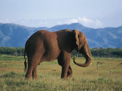 Side Profile of an African Elephant Walking in the Forest, Fothergill Island, Kariba, Zimbabwe