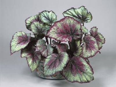 Close-Up of a Painted Leaf Begonia Plant (Begonia Rex)