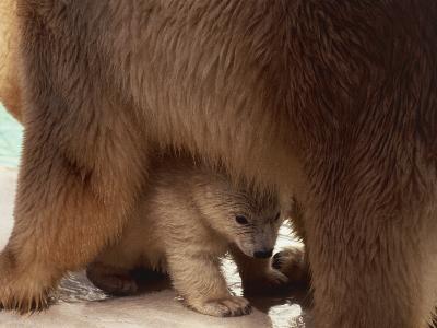 Close-Up of a Polar Bear with its Cub (Ursus Maritimus)