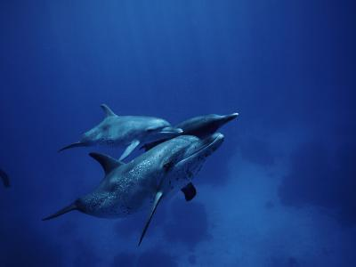 Adult and Two Baby Spotted Dolphins Swim in the Caribbean Ocean