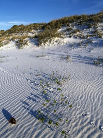 Beach Landscape with Animal Tracks and Grassy Sand Dunes, Gulf Islands National Seashore, Florida