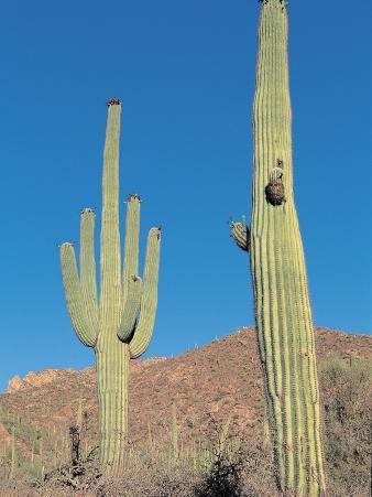Cactus Plants in a Field, Saguaro Cactus, Sonoran Desert, Tucson, Arizona, Usa (Cereus Giganteus)