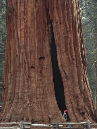 Low Section View of a Sequoia Tree, Sequoia National Park, California, Usa