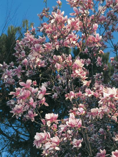 Low Angle View Of Branches Of A Saucer Magnolia Tree In Blossom