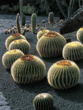Spherical Cactus Plants in a Garden, Lanzarote, Canary Islands, Spain