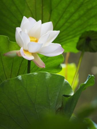 China, Sichuan Province, Lotus Flower in the Pond
