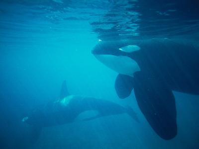 Mother and Calf Killer Whales Swim Underwater