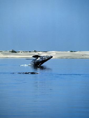 Gray Whale, Eschrichtius Robustus, Breeching, Magdalena Bay