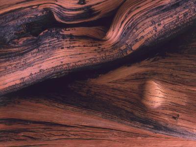 Detail Bristlecone Pine