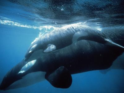 Killer Whale (Orcinus Orca) and Young Underwater