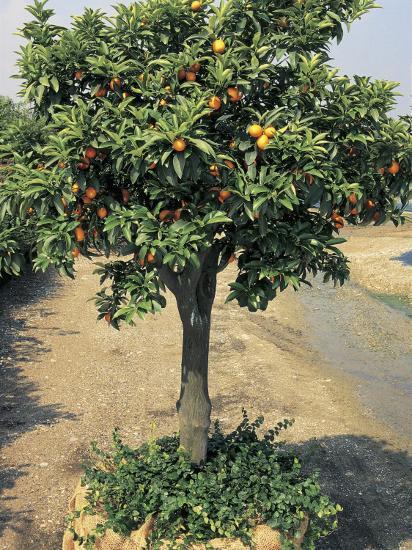 Kumquats Growing On A Round Kumquat Tree Fortunella