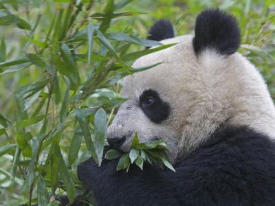 China, Sichuan Province, Wolong, Giant Panda Eating Bamboo