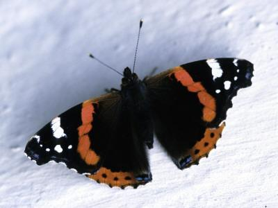 A Black Butterfly with Red and White Patterns