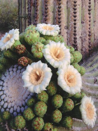 Detail of White and Peach Blooms on Saguaro Cactus
