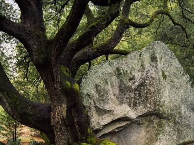 Usa, California, Granite Boulder, Canyon Oak