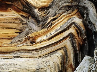 Bristlecone Pine, Ancient Tree