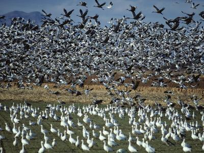 Snow Geese Taking Off from Field, New Mexico, Usa