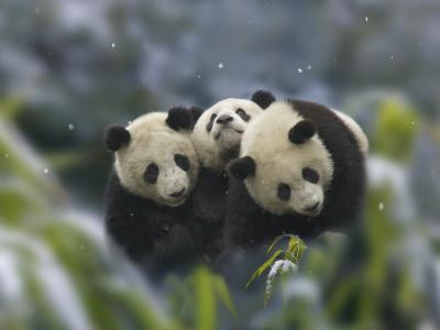 China, Sichuan Province, Wolong, Three Giant Panda Cubs in the Forest on a Snowy Day