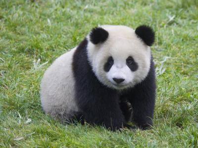 China, Sichuan Province, Wolong, Giant Panda Cub on the Grass
