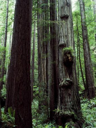 Giant Redwood National Park, Usa