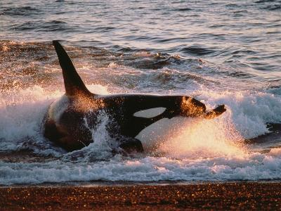 Killer Whale Washed Up on Shore