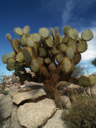 Pancake Cactus, Joshua Tree Nm